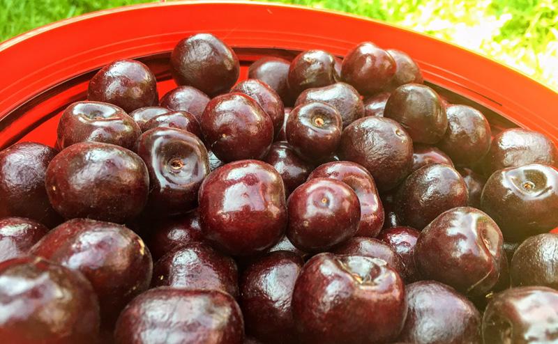 Cherry Picking Draper Girl Farm Hood River Fruit Loop